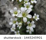 Small White Wild Flowers On...