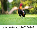 Beautiful Rooster Standing On...