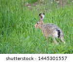 Stock photo european hare lepus europaeus also known as the brown hare running away in grass meadow selective 1445301557