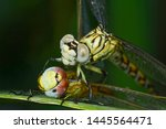 Stock photo showing of eyes dragonfly and wings detail beautiful dragonfly in the nature habitat 1445564471