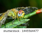 Stock photo showing of eyes dragonfly and wings detail beautiful dragonfly in the nature habitat 1445564477