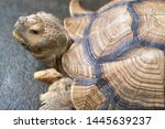 Stock photo african spurred tortoise sulcata tortoise 1445639237