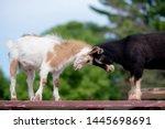 Two Dwarf Nigerian Goats On...