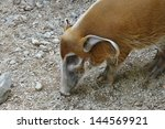 Red River Hog At A Zoo In...