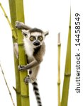 Young Ring Tailed Lemur  6...