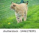 Bobcat  North American Medium...