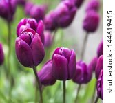 Purple Tulip Stems Outdoor