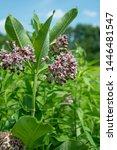 Wild milkweed plants growing in southern Wisconsin