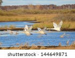 Four Trumpeter Swans (Cygnus buccinator) Taking Flight