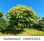 Small photo of Blooming Chestnut Tree against blue sky in the summer. Sweet Eatable Chestnut, Castanea Sativa