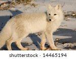 Arctic Fox Near Churchill...