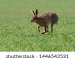 Stock photo brown hare running over arable field 1446542531