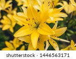 Yellow Asiatic Hybrid Lilies....