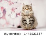 Stock photo siberian cats and kittens on beautiful neutral background perfect for postcards 1446621857