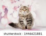 Stock photo siberian cats and kittens on beautiful neutral background perfect for postcards 1446621881