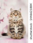 Stock photo siberian cats and kittens on beautiful neutral background perfect for postcards 1446621884