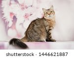 Stock photo siberian cats and kittens on beautiful neutral background perfect for postcards 1446621887