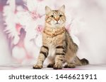 Stock photo siberian cats and kittens on beautiful neutral background perfect for postcards 1446621911