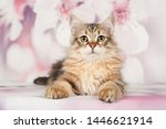 Stock photo siberian cats and kittens on beautiful neutral background perfect for postcards 1446621914