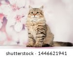 Stock photo siberian cats and kittens on beautiful neutral background perfect for postcards 1446621941