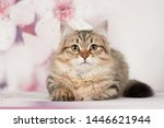 Stock photo siberian cats and kittens on beautiful neutral background perfect for postcards 1446621944