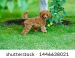 A Cute Brown Poodle Puppy Is...
