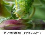 caterpillar of green veined...   Shutterstock . vector #1446966947