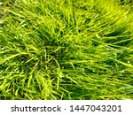 close up top view of the green... | Shutterstock . vector #1447043201