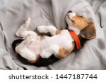 Stock photo cute beagle puppy is lying on a gray cloth with the morning sun 1447187744
