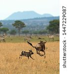Small photo of TANZANIA,SERENGETI NATIONAL PARK JULY 2,2019;The wolves group in its excursion of prey see a wildebeest graze.They chase it,eventually being tired of running,seize his back legs bite glans and kill it