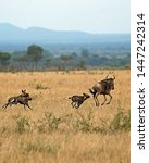Small photo of TANZANIA,SERENGETI NATIONAL PARK JULY 2,2019;The wolves group in its excursion of prey see a wildebeest graze.They chase it,eventually being tired of running,seize his back legs bite gland and kill it