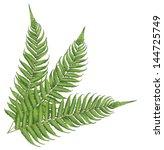 new zealand fern leaves   Shutterstock .eps vector #144725749