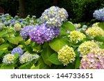 beautiful purple hortensia flowers  - stock photo