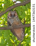 close up of owl sitting on... | Shutterstock . vector #1447363151