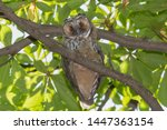 close up of owl sitting on... | Shutterstock . vector #1447363154