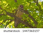 close up of yawning owl on... | Shutterstock . vector #1447363157