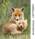 Stock photo red fox cubs cuddling 144750847