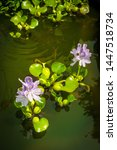 Small photo of Eichhornia flowering water hyacinth floaters in man made backyard pond