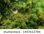 Northern Mockingbird Isolated...