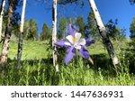 Mountain Flower In Aspen Trees