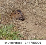 Small photo of Botta's Pocket Gopher (Thomomys bottae) peeks out of its burrow