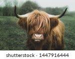 Longhorn Cow From Denmark...