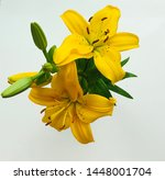 Very Beautiful Yellow Lily On A ...