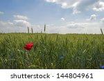 Corn Growing On A Field In...