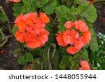 Orange Geranium In The Summer...