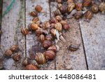 Stock photo helix aspersa muller maxima snail organic farming snail farming edible snails on wooden snails 1448086481