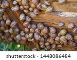 Stock photo helix aspersa muller maxima snail organic farming snail farming edible snails on wooden snails 1448086484