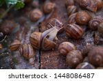 Stock photo helix aspersa muller maxima snail organic farming snail farming edible snails on wooden snails 1448086487