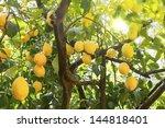 Ripe Lemons Hanging On A Tree...
