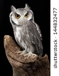 Stock photo white faced owl 144832477